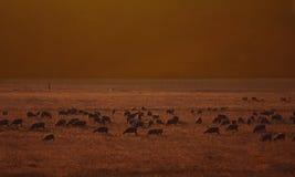 Un campo delle pecore. Fotografia Stock