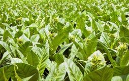 Un campo delle piante di tabacco in fiore Immagini Stock Libere da Diritti