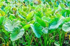 Un campo delle piante di taro (foglie verdi) Immagini Stock Libere da Diritti