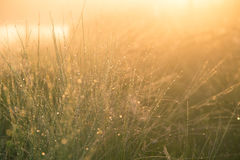 Un campo di bella erba verde del carice alla luce di mattina Paesaggio della palude sull'Europa settentrionale Fotografie Stock Libere da Diritti