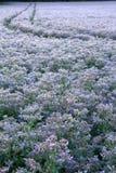 Un campo di belle piante della borragine Fotografia Stock