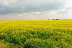 Un campo di canola in Saskatchewan Immagine Stock