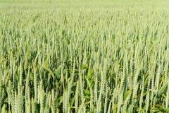 Un campo di cereale Fotografie Stock