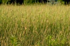 Un campo di erba alta Immagine Stock