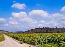 Un campo di fioritura dei girasoli Immagini Stock Libere da Diritti