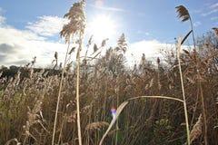 Un campo di grano Immagine Stock