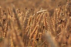 Un campo di grano e dei papaveri dorati Immagine Stock