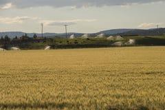 Un campo di grano e delle mucche di pascolo, Oregon centrale, U.S.A. Fotografia Stock Libera da Diritti