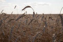 Un campo di grano maturo sotto cielo blu leggermente nuvoloso Agricultur Fotografia Stock Libera da Diritti