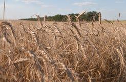 Un campo di grano maturo sotto cielo blu leggermente nuvoloso Agricultur Fotografia Stock