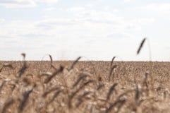 Un campo di grano maturo sotto cielo blu leggermente nuvoloso Agricultur Immagine Stock Libera da Diritti