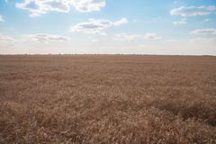 Un campo di grano maturo sotto cielo blu leggermente nuvoloso Agricultur Immagini Stock