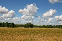 Un campo di grano maturo su un fondo del boschetto della betulla e del cielo blu Paesaggio di ESTATE Fotografia Stock