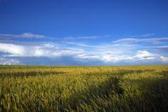 Un campo di grano sotto le belle nuvole Fotografia Stock