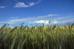 Un campo di grano sotto le belle nuvole Fotografia Stock Libera da Diritti