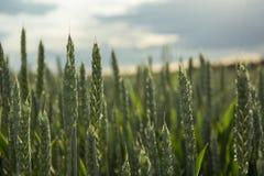 Un campo di grano verde Fotografia Stock