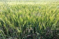 Un campo di grano verde non maturo Fotografia Stock Libera da Diritti