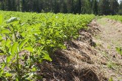 Un campo di permacultura delle patate crescenti Fotografia Stock Libera da Diritti