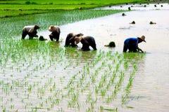 Un campo di risaia Immagini Stock