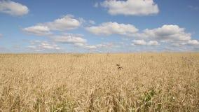 Un campo di segale sotto il cielo blu video d archivio