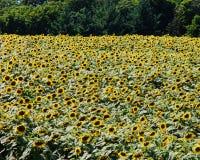Un campo enorme de girasoles en el país Imágenes de archivo libres de regalías