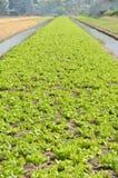 Un campo fertile dell'azienda agricola della lattuga deve essere irrigato. fotografia stock