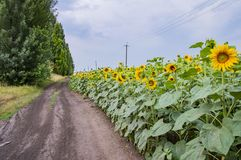 Un campo floreciente de girasoles a lo largo de un camino de tierra - agricultura imágenes de archivo libres de regalías