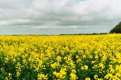 Un campo giallo enorme della violenza agricoltura Immagine Stock