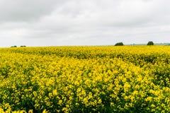 Un campo giallo enorme della violenza agricoltura Immagini Stock