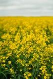 Un campo giallo enorme della violenza agricoltura Fotografie Stock Libere da Diritti