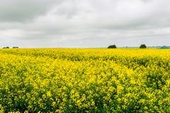 Un campo giallo enorme della violenza agricoltura Fotografia Stock