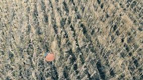Un campo grande con las cosechas muertas, visión superior Un hombre camina en un campo con los girasoles secados, mirándolos almacen de video