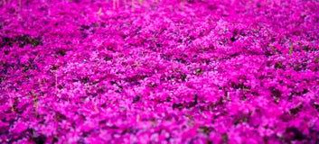 Un campo grande de las flores de la lila imagen de archivo