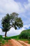 Un campo grande del árbol y de maíz con un cielo nublado imagen de archivo libre de regalías