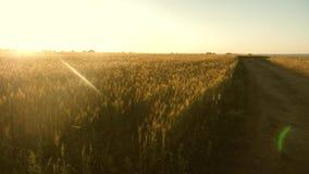 Un campo grande del trigo maduro y de un camino rural Las espiguillas del trigo con el grano sacuden el viento La cosecha de gran imagen de archivo