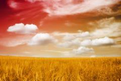 Un campo hermoso de la cebada en puesta del sol Fotos de archivo