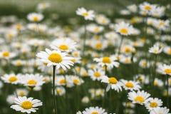 Un campo hermoso de margaritas florecientes primer de flores, Sid Imágenes de archivo libres de regalías
