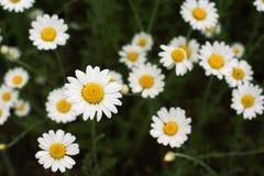 Un campo hermoso de margaritas florecientes primer de flores, visión desde arriba Fotos de archivo libres de regalías