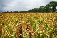 Un campo hermoso del maíz y de un cielo loco fotografía de archivo