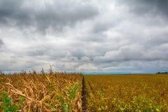Un campo hermoso del maíz y de un cielo loco imagen de archivo