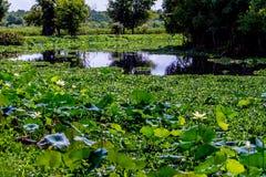 Un campo mojado hermoso de Lotus Wildflowers amarilla fotos de archivo libres de regalías