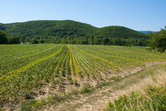 Un campo nel sud della Francia subito dopo il raccolto della lavanda Fotografie Stock Libere da Diritti