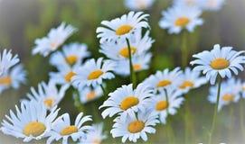 ¡Un campo perfecto de las margaritas blancas y amarillas!!!! Fotografía de archivo