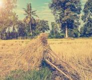 Un campo in pieno delle risaie dorate Immagine Stock