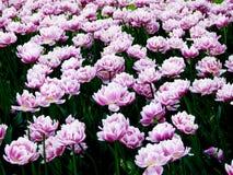Un campo rosa-chiaro stupefacente dei tulipani Fotografie Stock
