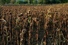 Un campo secado del girasol Imagenes de archivo