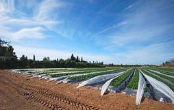 Un campo strewberry Immagine Stock Libera da Diritti