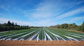 Un campo strewberry Fotografia Stock Libera da Diritti