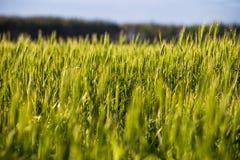 Un campo verde con le spighette, pane si sviluppa contro il cielo blu Agricoltura Ucraina Fotografia Stock