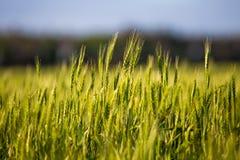Un campo verde con le spighette, pane si sviluppa contro il cielo blu Agricoltura Ucraina Fotografia Stock Libera da Diritti